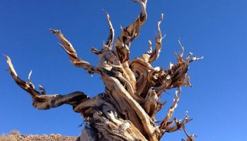 Ancient Bristlecone Pine Forest Day Trip From Bishop