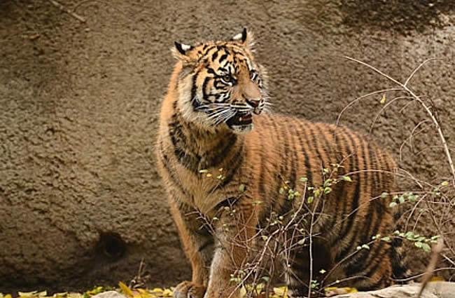 Sacramento Zoo Tiger
