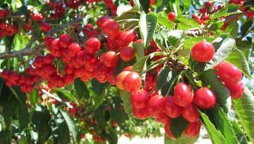Ambers U-Pick Cherry Farm Leona Valley