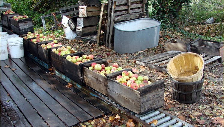 Fall Apple Harvest Oak Glen