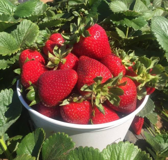 Carlsbad Strawberry Company U-Pick Farm