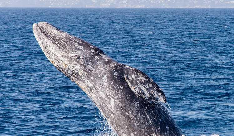 Dana Point Whale Watching