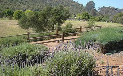 Lavender Fields Keys Creek Farm