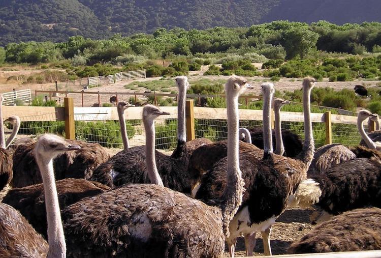 Ostrich Land Buellton