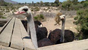 OstrichLand USA Roadside Attraction