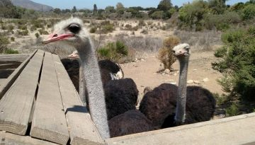 OstrichLand USA Santa Ynez Valley Road Side Attraction