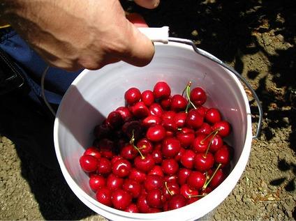 U-Pick Cherries by the bucket