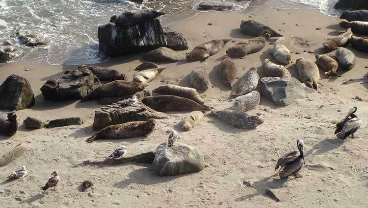 Caarpinteria seal rookery
