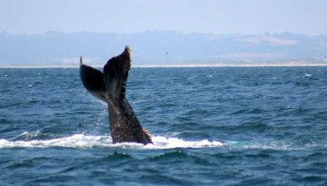 Island Packers Whale Watching Trips Ventura and Oxnard