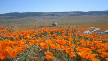 Antelope Valley Poppy Reserve Day Trip