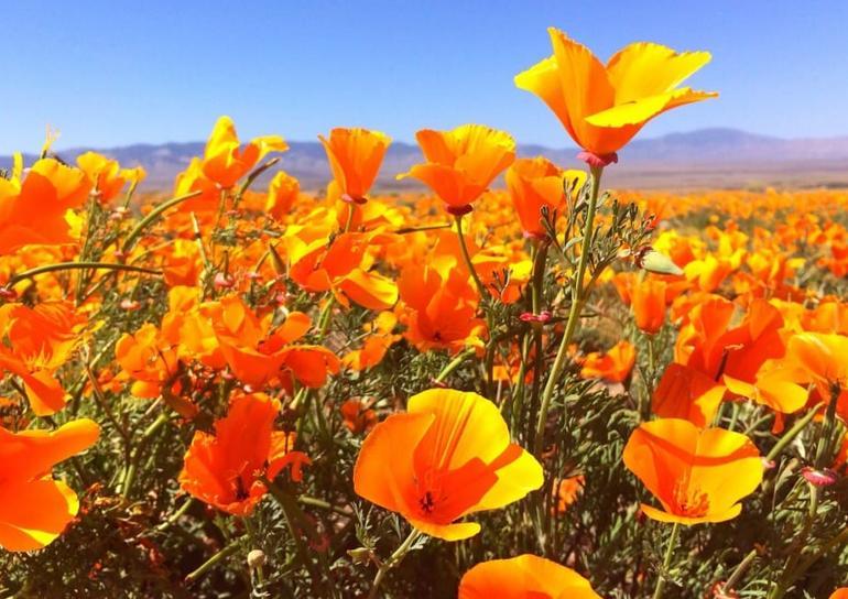 Antelope Valley Poppy Reserve