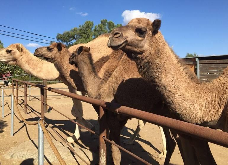 Oasis Camel Dairy Farm Day Trip