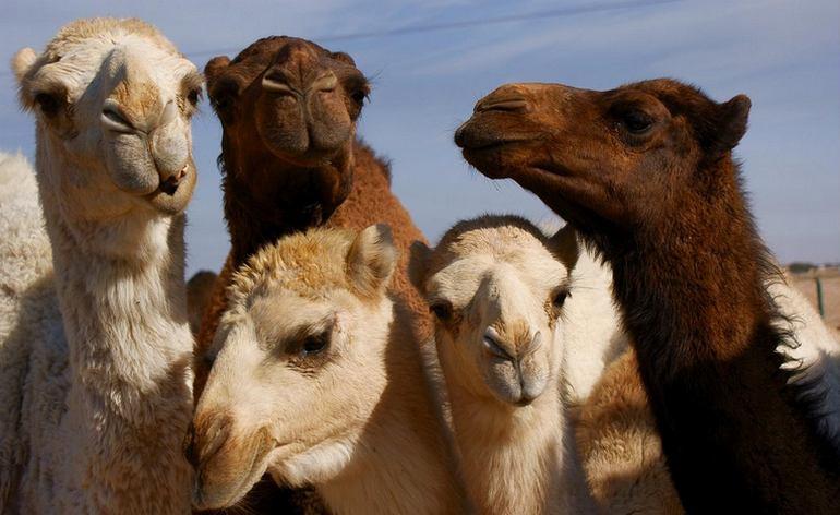 Oasis Camel Dairy Farm