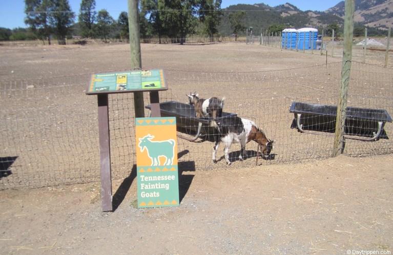Old Faithful Geyser Fainting Goats