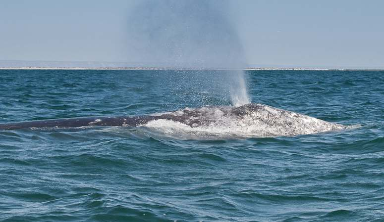Gray Whale California