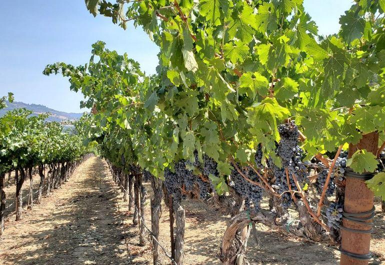 Calistoga Vineyard