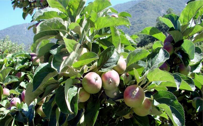 Oak Glen California U-Pick Apple Orchards
