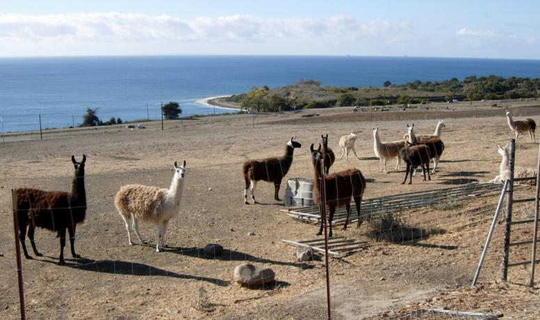 Llama & goat farm El Capitan Canyon Resort
