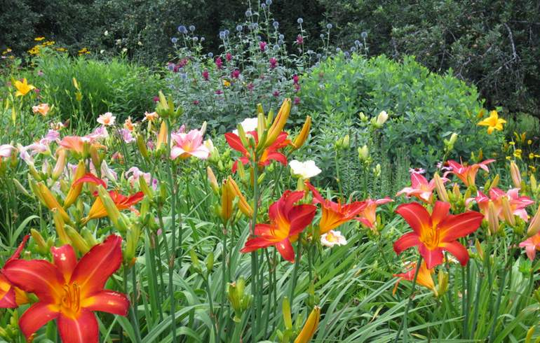 Amador Flower Farm Daylilies