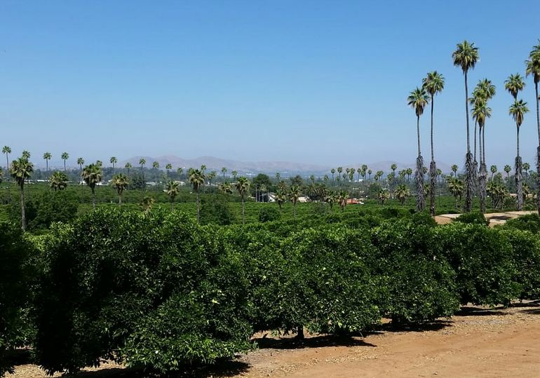 Orange Groves Riverside California