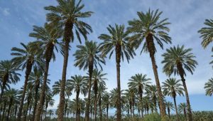 Oasis Date Gardens Palm Springs Day Trip