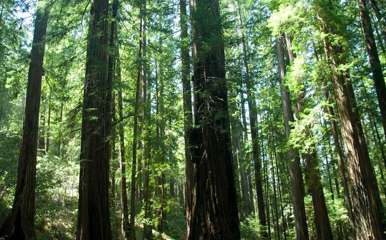 mendocino-county-redwoods