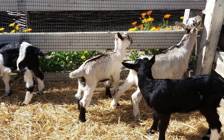 Harley Farms Goat Dairy Pescadero