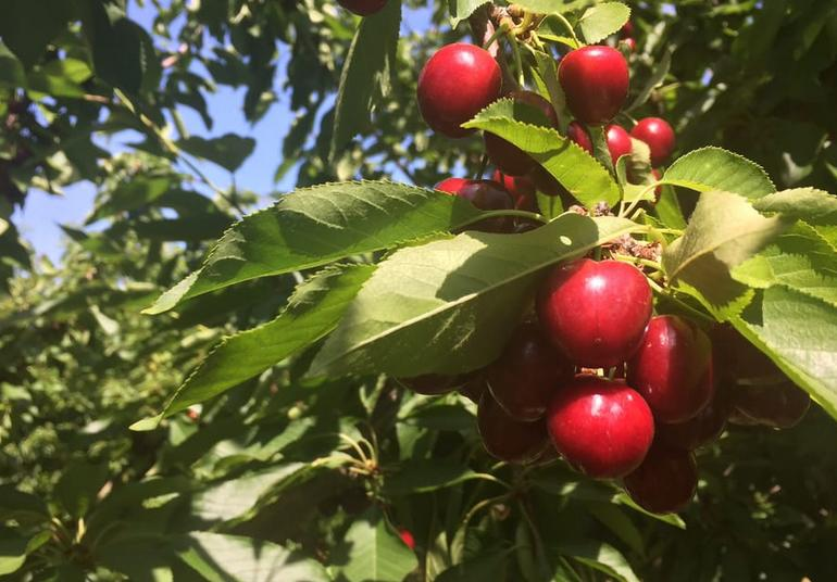 Ambers Cherry Farm