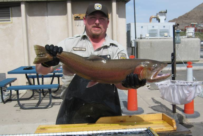 Pyramid Lake Trout