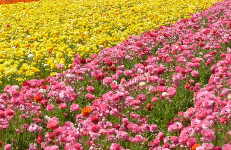 Lompoc Flower Fields