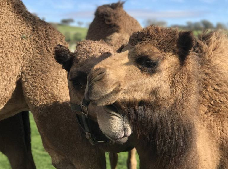 Oasis Camel Dairy Farm Ramona California