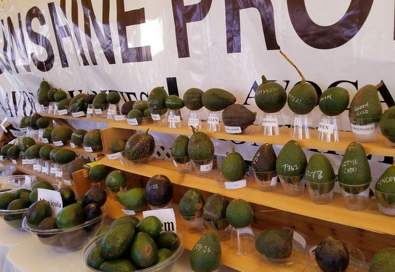 Best Avocado Contest